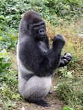 Gorilla. Large male Gorilla with food in his hands Royalty Free Stock Photography