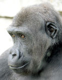 Gorilla 9 Stock Photography