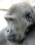 Gorilla 9 fotografia stock
