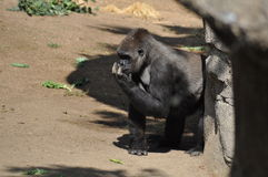 gorilla Fotos de Stock Royalty Free