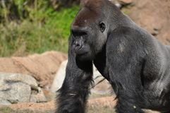 gorilla Foto de Stock