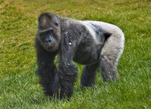 Gorilla. Standing in the grass Royalty Free Stock Photos