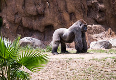 gorilla Foto de Stock Royalty Free
