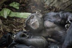 gorilla imagens de stock