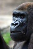 gorilla royaltyfria foton