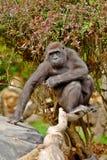 Gorilla. From Seattle ZOO Stock Photos