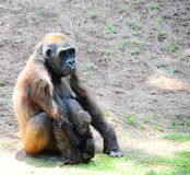 Gorilla. Despondent Loving Female Gorilla With a Young Offspring Stock Photography