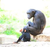 Gorilla. Despondent Loving Female Gorilla With a Young Offspring Royalty Free Stock Photography