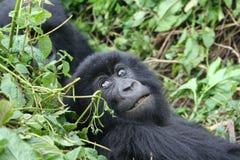 Gorilla Stock Photo