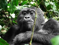 Gorilla in Africa Stock Images