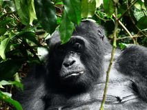 Gorilla in Africa Royalty Free Stock Photography