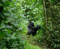 Gorilla in the african jungle stock image