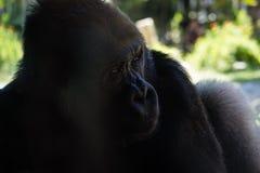 Gorilla africana Fotografie Stock