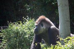 Gorilla africana della parte posteriore dell'argento Fotografia Stock