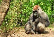Gorilla al sole fotografia stock