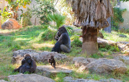 Gorilla alpha male with family Royalty Free Stock Images