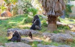 Gorilla alpha- mannetje met familie royalty-vrije stock afbeeldingen