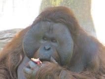 Gorilla Amazing affronta il cibo splendido Fotografia Stock