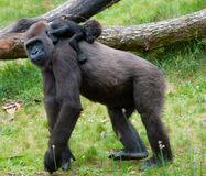 Gorilla And Her Baby Royalty Free Stock Image
