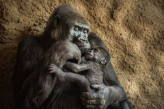 Gorilla And Its Baby Stock Photos