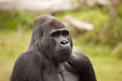 Gorilla Angle Royalty Free Stock Images