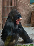 Gorilla angry scene. Gorilla at Prague zoo was angry Stock Images