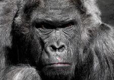 Gorilla Animal Royalty Free Stock Images