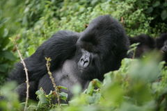 Gorilla animal Rwanda Africa tropical Forest wild Royalty Free Stock Images