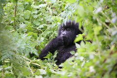 Gorilla animal Rwanda Africa tropical Forest wild Stock Photography