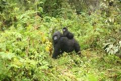 Gorilla animal Rwanda Africa tropical Forest wild. Wild Gorilla animal Rwanda Africa tropical Forest Stock Photography