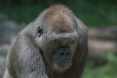 Gorilla ape monkey close up portrait. Black gorilla ape monkey close up portrait stock photography