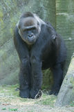 Gorilla ape monkey close up portrait. Black gorilla ape monkey close up portrait stock image