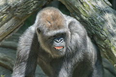 Gorilla ape monkey close up portrait. Black gorilla ape monkey close up portrait royalty free stock images