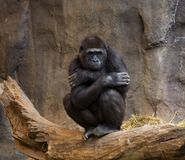 Gorilla Ape Thinking. Looking at the Crowd royalty free stock image