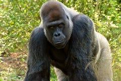 Gorilla auf allen fours Stockfotos