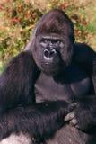 Gorilla auf dem Ausblick Lizenzfreie Stockfotos