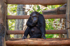 Gorilla auf dem Bauholz Stockbilder