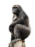 Gorilla auf dem Baumkabel, getrennt Stockfoto