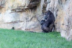 Gorilla auf dem Gras Stockfotos