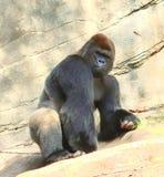 Gorilla auf den Felsen Stockfotos