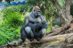 Gorilla auf einem Baum Lizenzfreie Stockfotografie