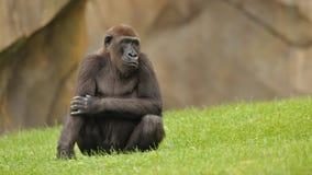 Gorilla auf grünem Gras Stockfotografie