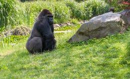 Gorilla auf Gras Lizenzfreie Stockfotos