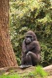 Gorilla baby Royalty Free Stock Photos