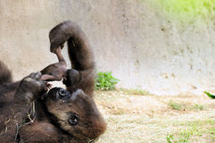 Gorilla & Baby. Mother lowland gorilla expressing her love for her two-day-old baby in a South Florida zoo. The baby was born June 19, 2011 and the image was stock images