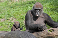 Gorilla with baby. Behind a trunk with a green background Stock Photography