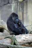 Gorilla and baby. Stock Photography