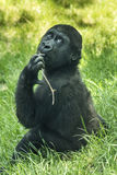 Gorilla baby Stock Photography