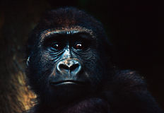 Gorilla Baby. Gorilla infant portrait stock image