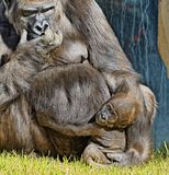 Gorilla with baby. Adult gorilla seated with clinging baby in grass Stock Photos